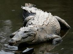 Гребнистый крокодил – хищник-людоед