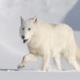 Полярный волк: описание, среда обитания
