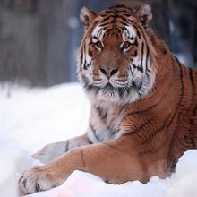 Сибирский тигр, информация о амурском тигре, обитание амурского тигра