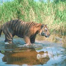 Туранский тигр, описание, причины исчезновения