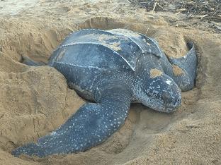 Какая самая большая черепаха в мире?