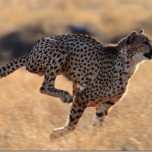 Гепард — самое быстрое животное на Земле