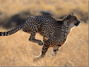 Гепард - самое быстрое животное на Земле