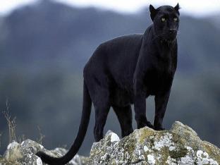 Черная пантера миф или реальность