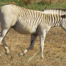 Зебра Квагга – покорительница равнин. Описание